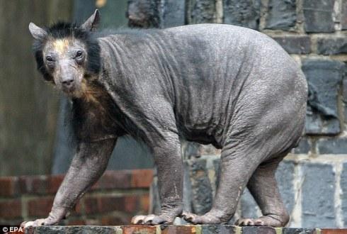 baldbear2